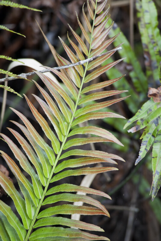 Giant Leather Fern Frond
