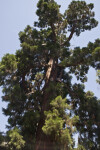 Giant Sequoia Tree Full-View