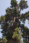 Giant Sequoia Tree Full-View