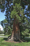 Giant Sequoia Tree Trunk