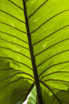 Giant Taro Leaf Close-Up