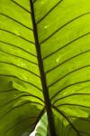 Giant Taro Leaf Close-Up