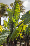 Giant Taro Plant at the Fruit and Spice Park