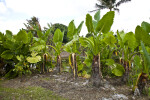 Giant Taro Plants