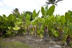 Giant Taro Plants