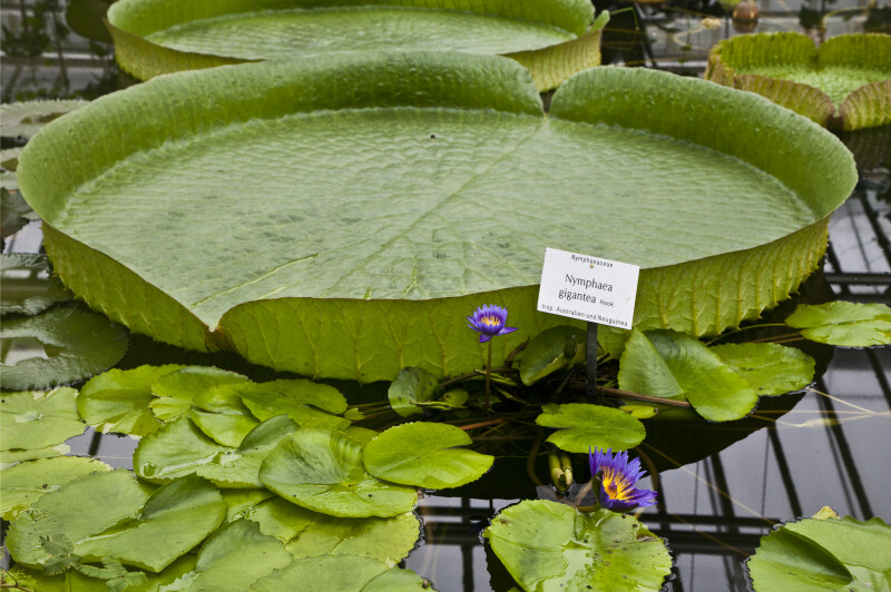Giant Waterlily