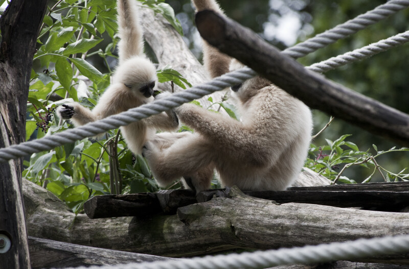 Gibbon Feeding Young