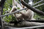 Gibbon Feeding Young