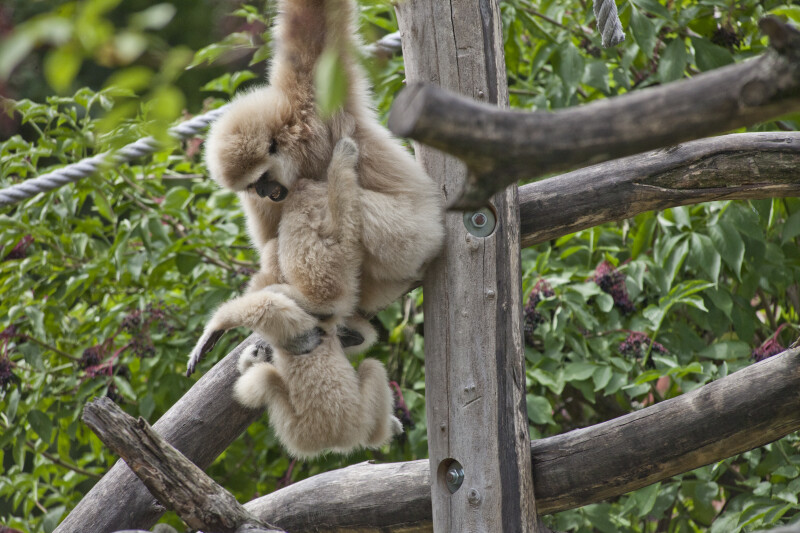 Gibbons Climbing