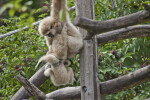 Gibbons Climbing