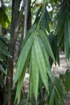 Gigantochloa Pseudoarundinacea Leaves