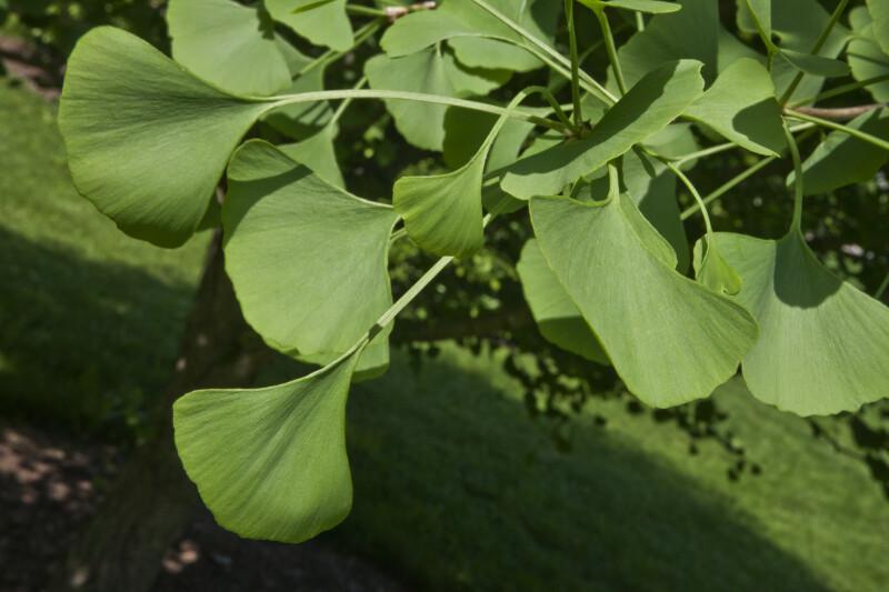 Ginkgo Green Leaves