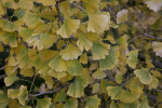 Ginkgo Tree Leaves