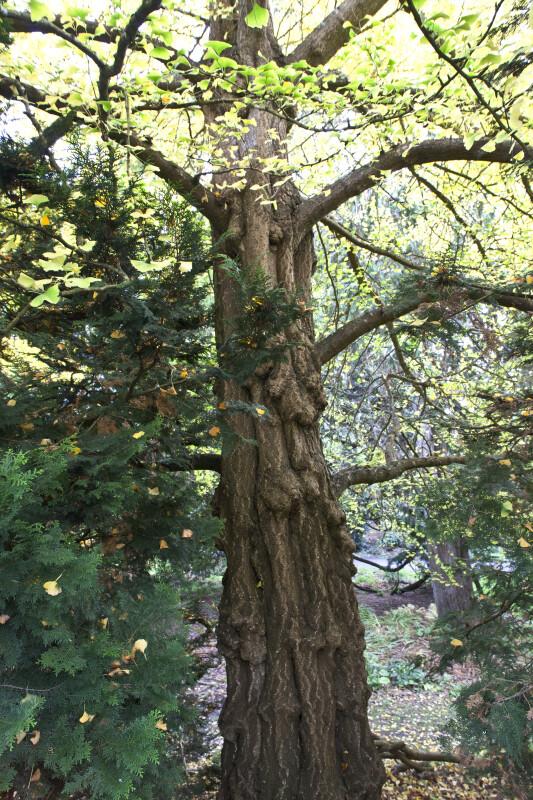 Ginkgo Tree Trunk