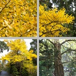 Ginkgo Trees photographs