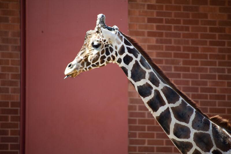 Giraffe and Brick Wall