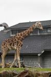 Giraffe and Building