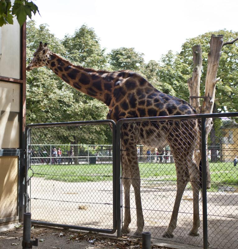 Giraffe by Fence