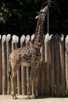Giraffe Eating Stems From Metal Post