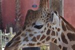 Giraffe Head Side