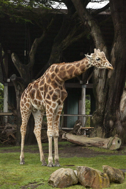 Giraffe Leaning Over