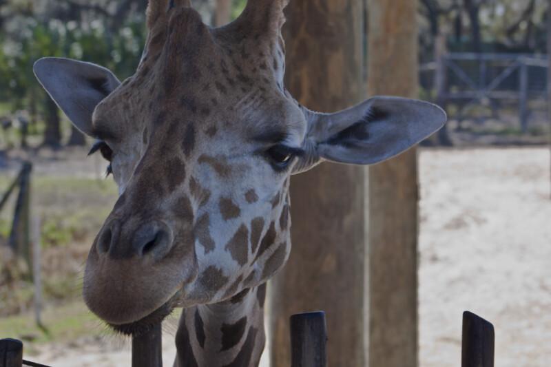 Giraffe Looking Over Fence