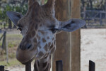 Giraffe Looking Over Fence