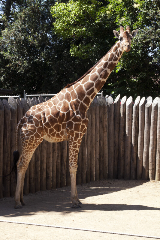 Giraffe Standing with Head Turned Toward Camera