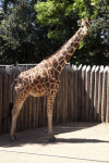 Giraffe Standing with Head Turned Toward Camera