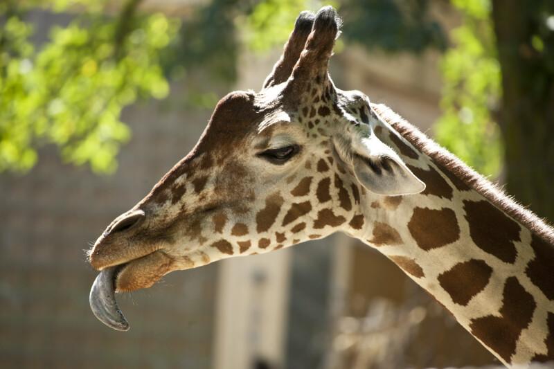 Giraffe Tongue