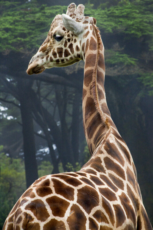 Giraffe Turning Head