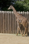 Giraffe Walking near a Wooden Fence