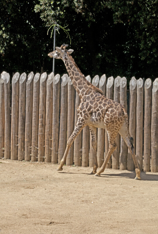 Giraffe Walking with its Head Held High