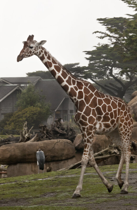 Giraffe Trotting