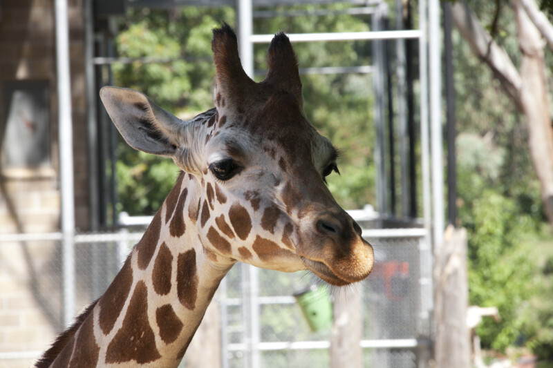 Giraffe with a Closed Mouth