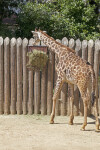 Giraffe with Head near Bushel of Grass