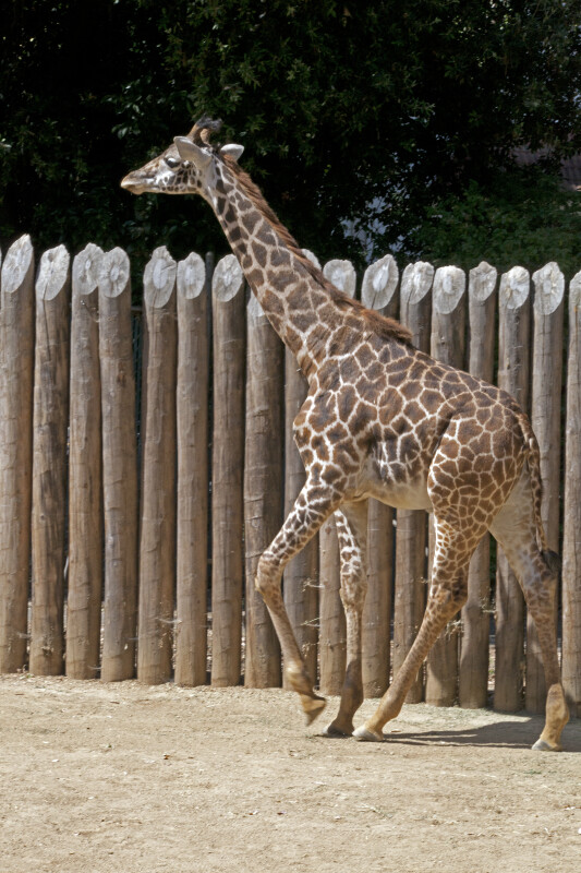 Giraffe with its Left Leg Raised