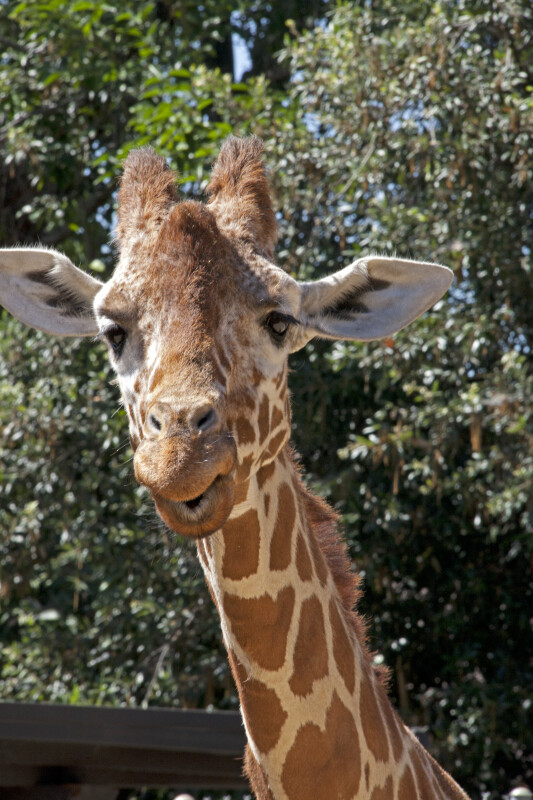 Giraffe with Mouth Open and Ears Perched