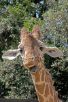 Giraffe with Mouth Wide Open