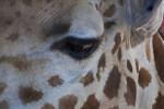 Giraffe's Eye
