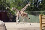 Giraffes Trotting