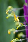 Globba winitii Flower