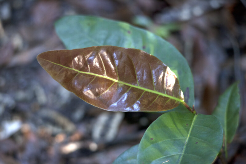 Glossy Brown Leaf with Lime-Green Veins