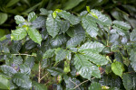 Glossy, Dark-Green Arabian Coffee Leaves