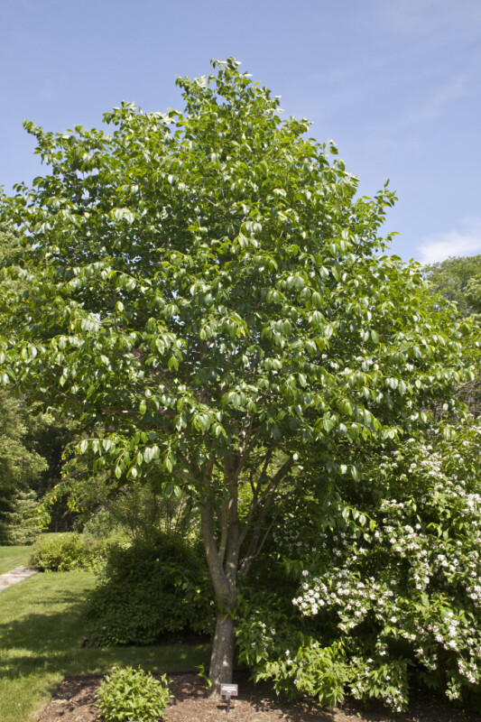 Glossy Euonymus Tree at the Arnold Arboretum of Harvard University