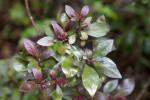 Glossy, Green and Purple Imperial Azalea 'Little John' Leaves