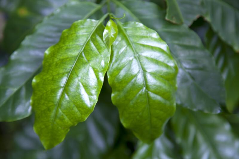 Glossy, Green Arabian Coffee Leaves Close-Up