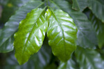 Glossy, Green Arabian Coffee Leaves Close-Up