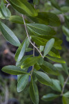 Glossy Green Florida Privet Leaves