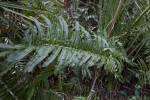 Glossy Green Leaves of a Fern